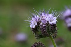 Flowers of the lacy phacelia Stock Photos