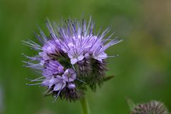 Flowers of the lacy phacelia Stock Photo