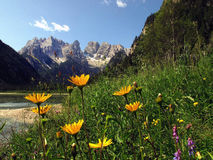 Flowers at Lago di Landro in sunny summer day dolomites Royalty Free Stock Photography