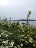 Flowers on the lake. Beautiful flower bush thriving on a hot summer day on the lake Royalty Free Stock Photography