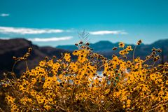 Flowers by the lake. Patch of sunflowers in the Arizona lakeside mountains royalty free stock photos