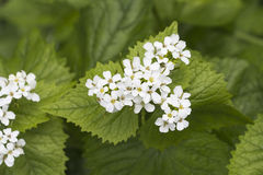Flowers of Lamium album, commonly called white nettle or white d Stock Image