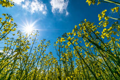 Flowers landscape canola Stock Images