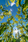 Flowers landscape canola Royalty Free Stock Photo