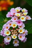 Flowers of Lantana camara. Lantana camara, also known as Spanish Flag or West Indian Lantana, is a species of flowering plant in the verbena family, Verbenaceae Royalty Free Stock Photo