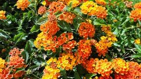 Flowers - Lantana camara Stock Images