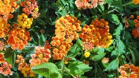 Flowers - Lantana camara Royalty Free Stock Photography