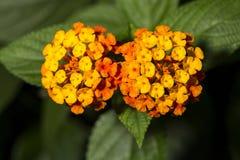 Flowers of Lantana camara or wild sage Royalty Free Stock Photo