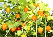 Flowers - lanterns. Chinese Lanterns or Japanese lanterns Royalty Free Stock Photography