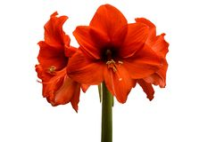 Flowers of a large red flower isolated on white background.  stock photos