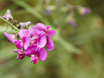 Flowers of Lathyrus tuberosus. Royalty Free Stock Photo