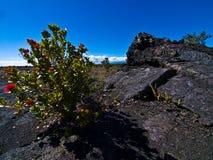 Flowers in a Lava Desert. Hawaii, Big Island Royalty Free Stock Photos