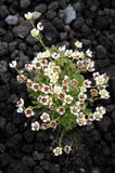 Flowers on a lava from a volcano. On Kamchatka Stock Photography