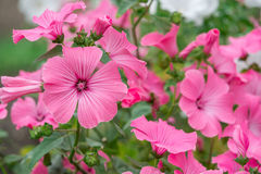 Flowers Lavatera trimestris. Pink in the garden Royalty Free Stock Photo