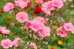 Flowers Lavatera trimestris Stock Images
