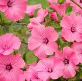 Flowers Lavatera trimestris Royalty Free Stock Photos