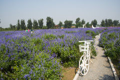 Flowers, lavender, bicycle, Royalty Free Stock Photo