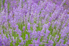 flowers of lavender Stock Images