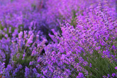 Flowers in the lavender fields. Royalty Free Stock Image