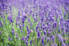 Flowers of lavender and flying bees. Violet flowers of lavender on lavender field with bees royalty free stock images