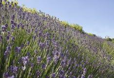 Flowers lavender Royalty Free Stock Photos
