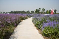 Flowers, lavender, lemon verbena, windmill Royalty Free Stock Photography