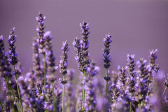 Flowers of lavender  on a purple background Stock Photography