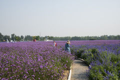 Flowers, lavender, Verbena officinalis L. Royalty Free Stock Image