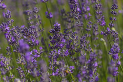 Flowers of Lavender Stock Photography