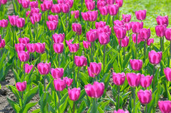 Flowers on a lawn. Flowers, tulips on a city lawn Stock Image