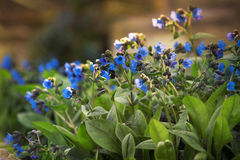 Flowers on the lawn. Blue flowers on the lawn in the beutiful warm spring day Stock Image