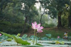 Lotus flowers and leaf in summer royalty free stock photos