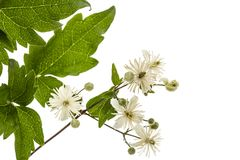 Flowers and leafs of Clematis , lat. Clematis vitalba L., isolat. Ed on white background Stock Photography