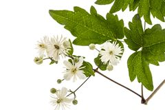 Flowers and leafs of Clematis , lat. Clematis vitalba L., isolat. Ed on white background Stock Photos