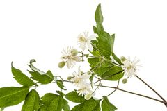 Flowers and leafs of Clematis , lat. Clematis vitalba L., isolat. Ed on white background Royalty Free Stock Photography