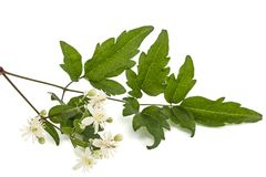 Flowers and leafs of Clematis , lat. Clematis vitalba L., isolat. Ed on white background Stock Photo