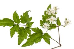 Flowers and leafs of Clematis , lat. Clematis vitalba L., isolat. Ed on white background Royalty Free Stock Photos