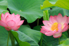 Flowers and leaves of the ancient lotus stock images
