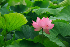 Flowers and leaves of the ancient lotus royalty free stock photos