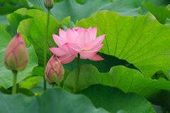 Flowers and leaves of the ancient lotus royalty free stock photo