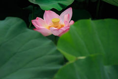 Flowers and leaves of the ancient lotus stock photo