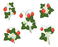 Flowers leaves and berries of strawberry. Bushes of strawberries, flowers leaves and berries of strawberry, Vector illustration Stock Image