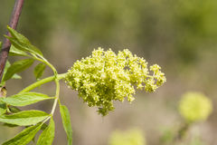 Flowers and leaves of blossoming red elderberry, Sambucus Racenosa, on branch with bokeh background macro Stock Photo