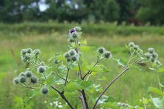Flowers and leaves of burdock. Herbal plant. Medicinal plant burdock. Flowers and leaves of burdock blooming in summer field. Summer plant. Green buds and purple royalty free stock photo