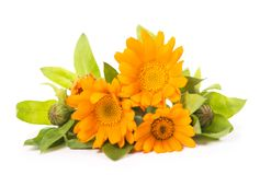 Flowers with leaves Calendula on a white background Royalty Free Stock Photo