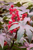 Flowers and leaves of castor plant. Castor plant with bright red flowers and red-veined poinsetta like leaves Stock Images