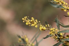 Flowers of a golden wattle tree Acacia pycnantha. Flowers and leaves of a golden wattle tree Acacia pycnantha Royalty Free Stock Photo