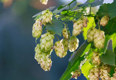 Flowers and leaves of hops close up Stock Images
