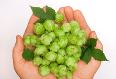 Flowers and leaves of hops in the palm Stock Photos