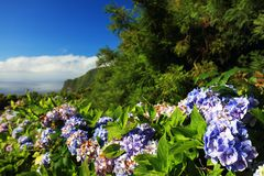 Hydrangea flowers and leaves in Sao Miguel Island. Flowers and leaves of Hortensias boarding the road in the volcanic crater lake of Sete Citades in Sao Miguel stock photography